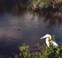 Heron and Alligator